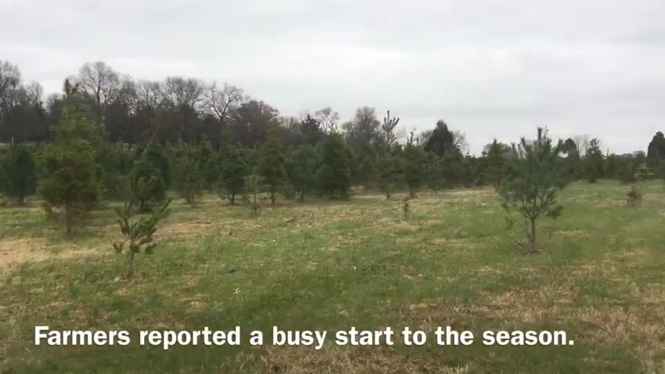 Christmas Tree Sales Double At Cut-your-own Tree Farm