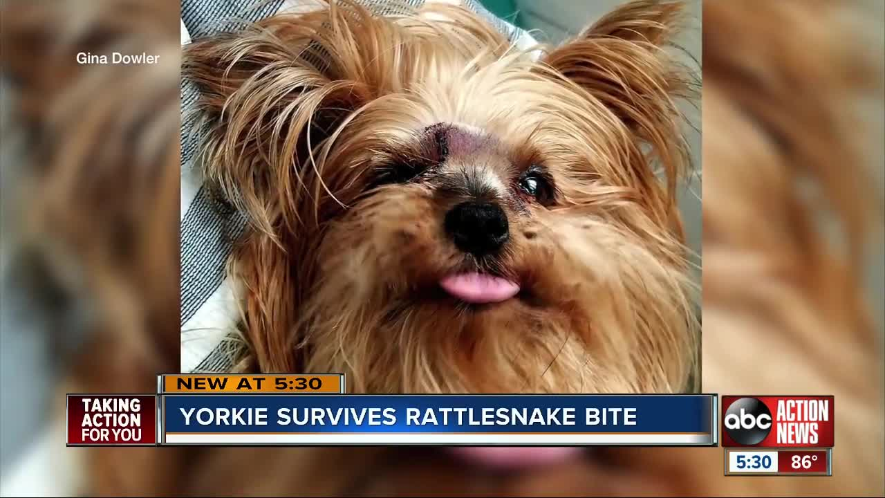 Miracle Dog' | 7 lb  Yorkshire Terrier survives rattlesnake bite in