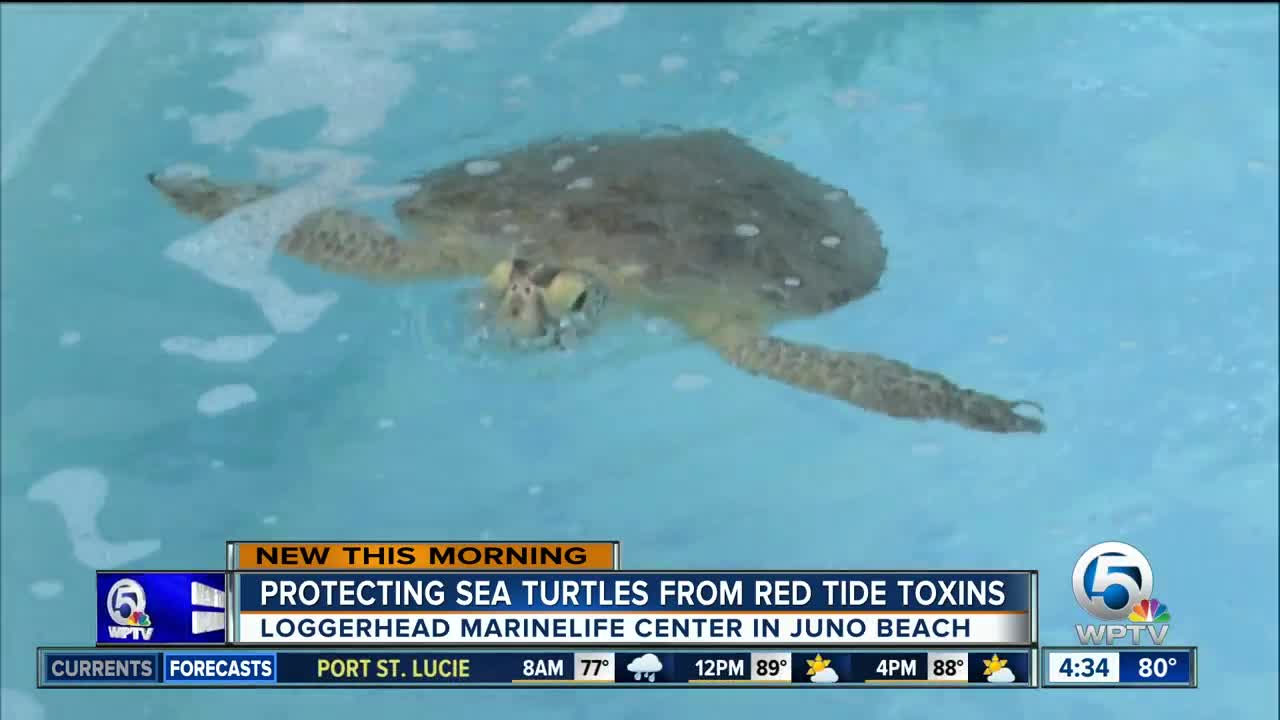 Loggerhead Marinelife Center Is Asking For Emergency Funding After Red Tide Was Found Off Palm Beach County