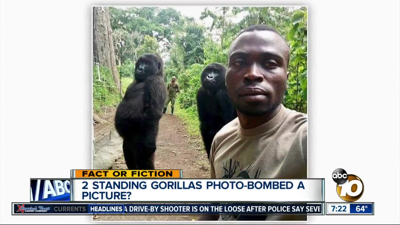 Gorillas pose for selfies with anti-poaching officers