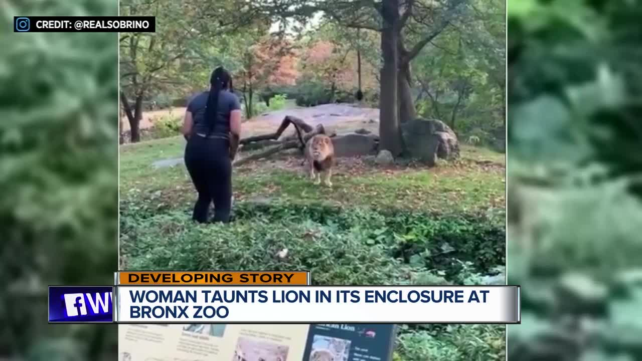 Watch the terrifying moment woman taunts lion after climbing into zoo enclosure