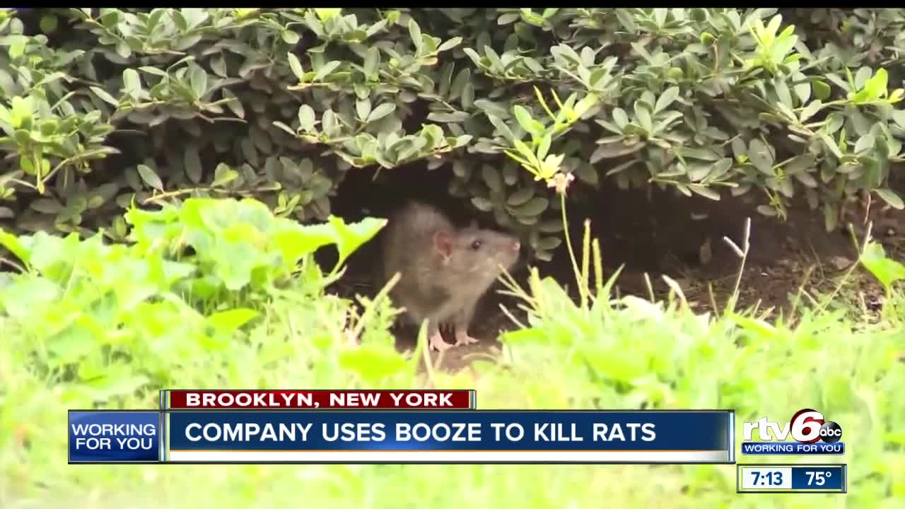 Brooklyn plans to get rid of rats by drowning them in booze