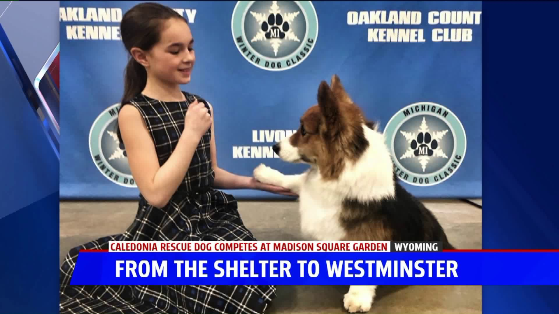 From West Mi To Westminster Rescue Dog Competes On National