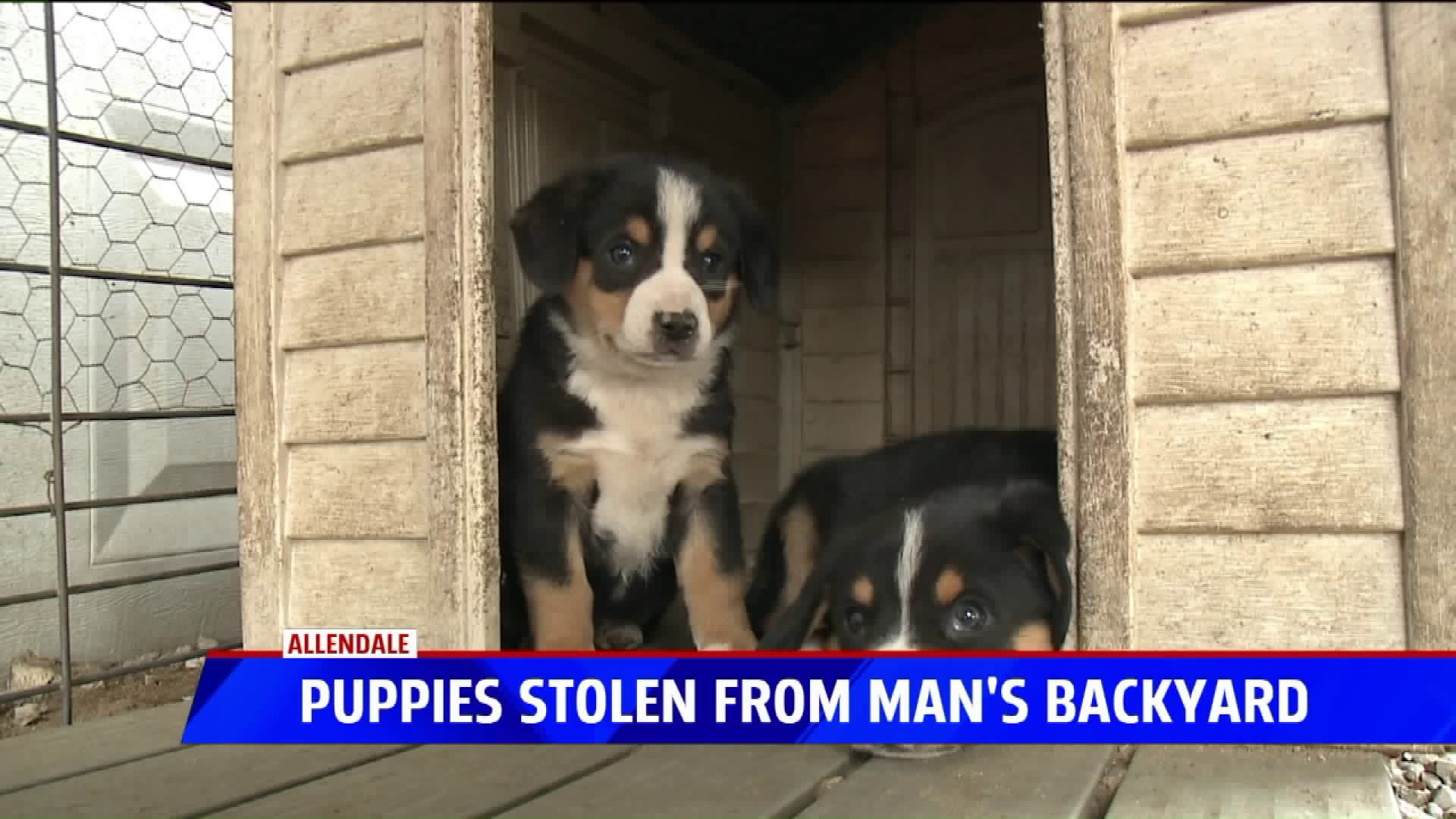 Two Rare Puppies Stolen From Allendale Breeder