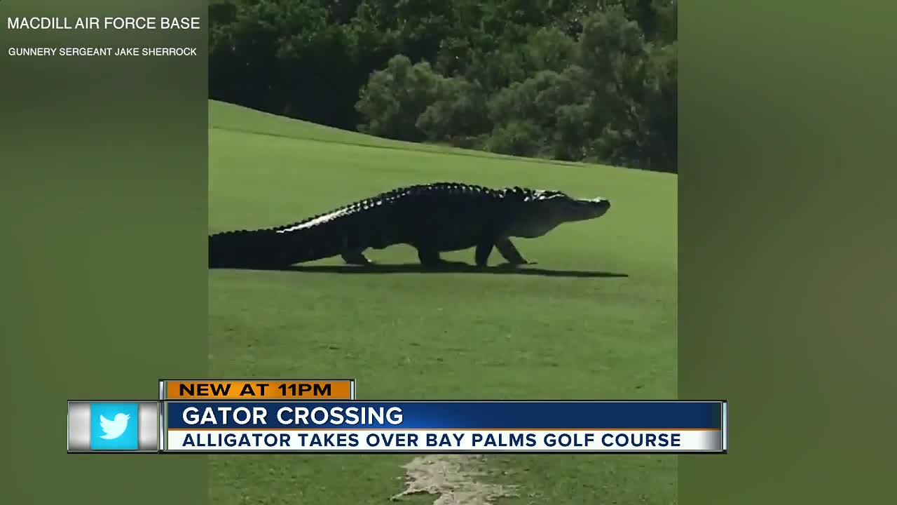 Monster Alligator Spotted On Macdill Air Force Base