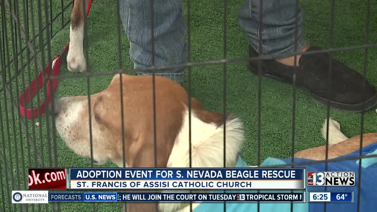 Adoption Event For Beagles Over The Weekend