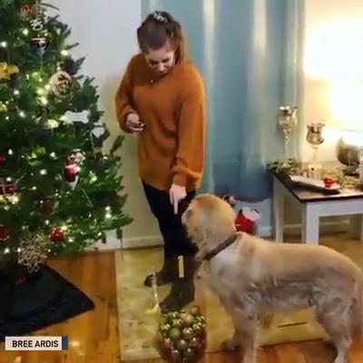 Dog helps decorate a Christmas Tree