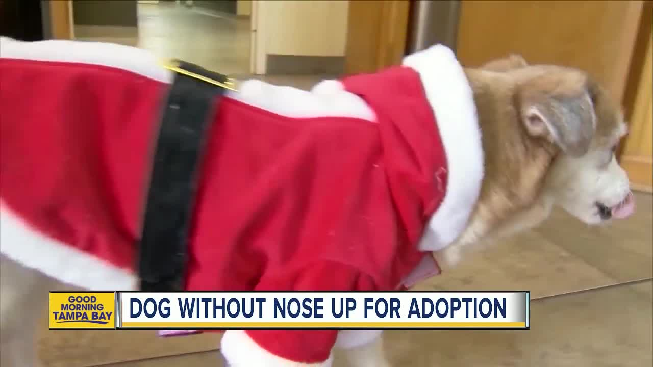 Dog born without a nose searching for forever home in Florida
