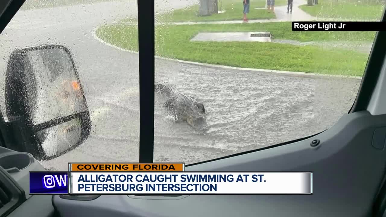 Florida alligators caught swimming on flooded roads, climbing fences