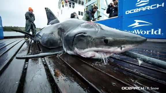 What attacked a 13-foot great white shark?