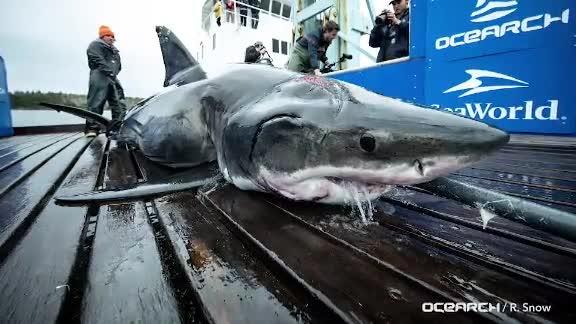13-foot great white shark bitten by even bigger shark, researchers say