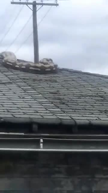 Massive 18 Foot Python Trapped On Roof Of Garage In