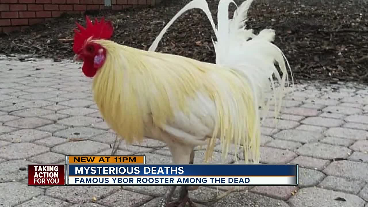 Famous Ybor City rooster killed as chicken population in