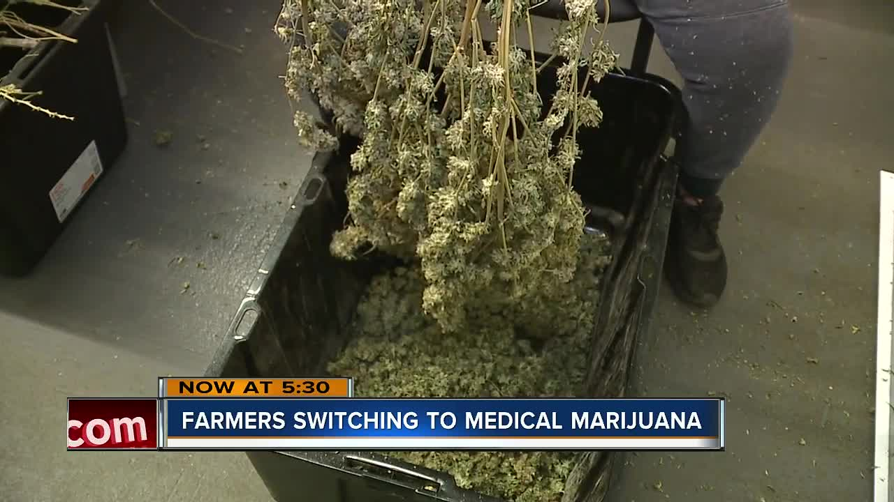 Farmers trading crops in for medical marijuana facilities