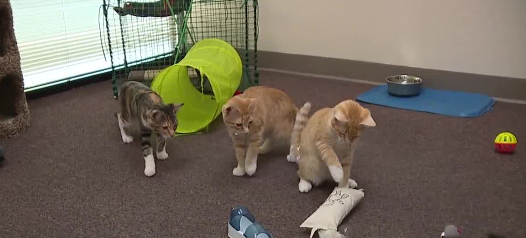 Play with cats at newest cat cafe in Las Vegas valley