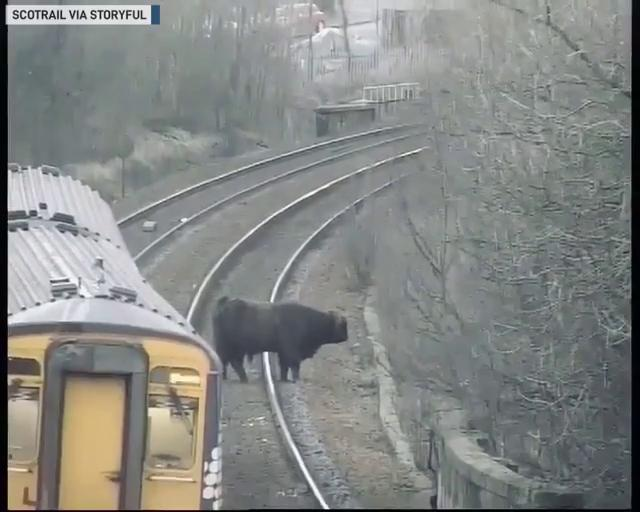 Moove over: Cattle on tracks cause rush-hour delays on Scottish railway