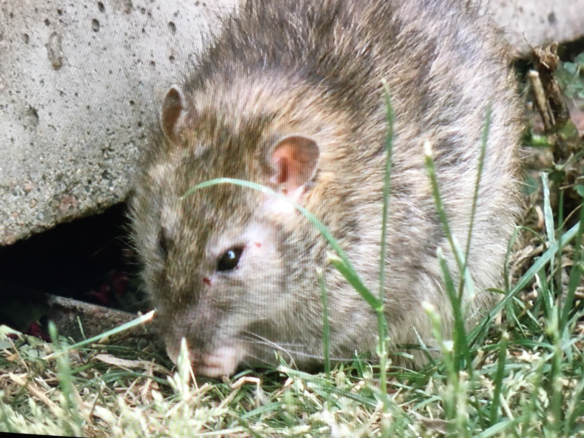 Phenomenal Neighbors Worry Rat Infested House Could Pose Health Hazard Home Interior And Landscaping Ponolsignezvosmurscom