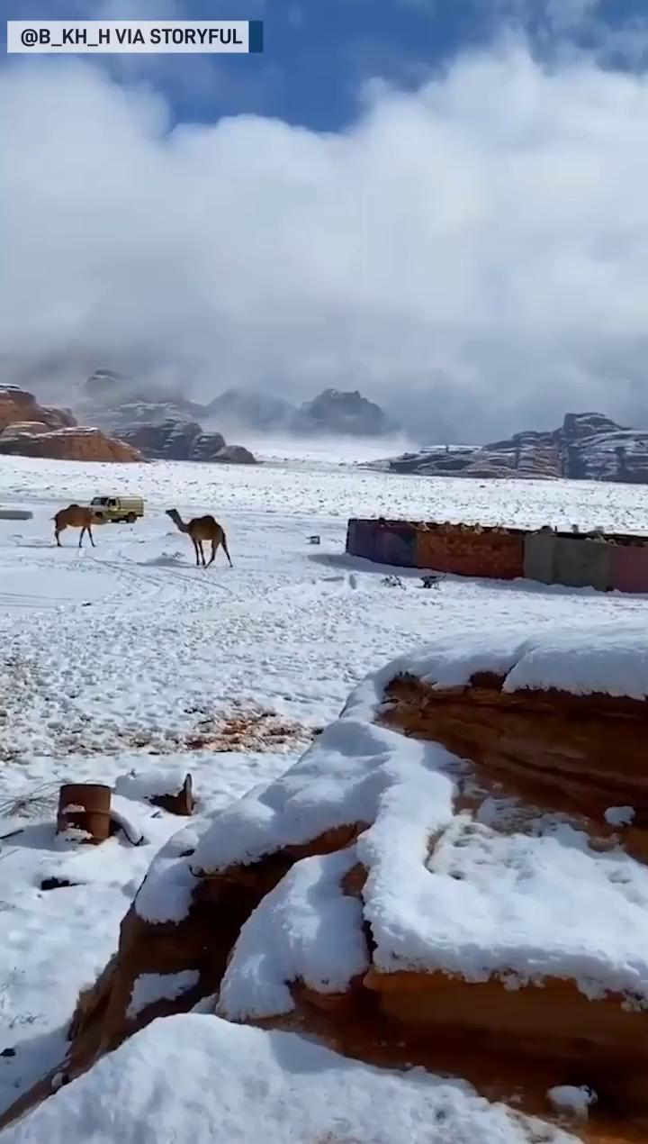Camels swap sand for snow