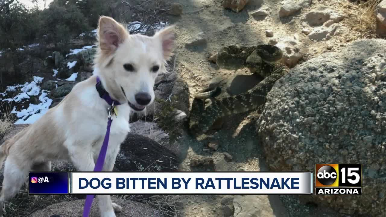 Dog attacked by rattlesnake at Superstition Mountains Wave Cave