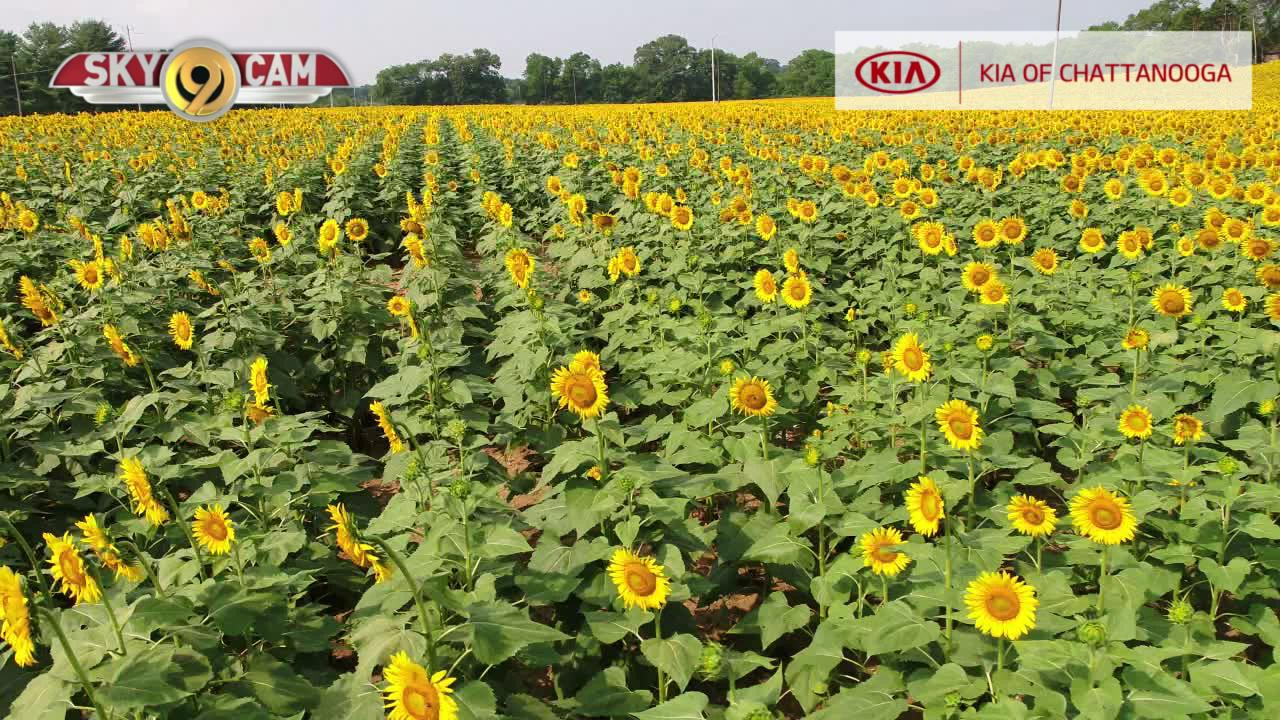 WATCH: NewsChannel 9 SkyCam flies over Ooltewah sunflower field