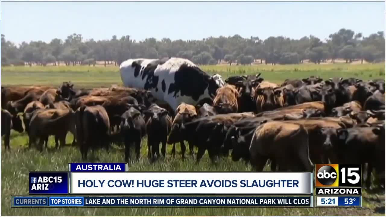 Enormous Steer Knickers Becomes Famous Online From Australia