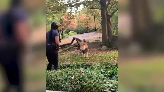 Woman jumps over zoo fence to dance before lion