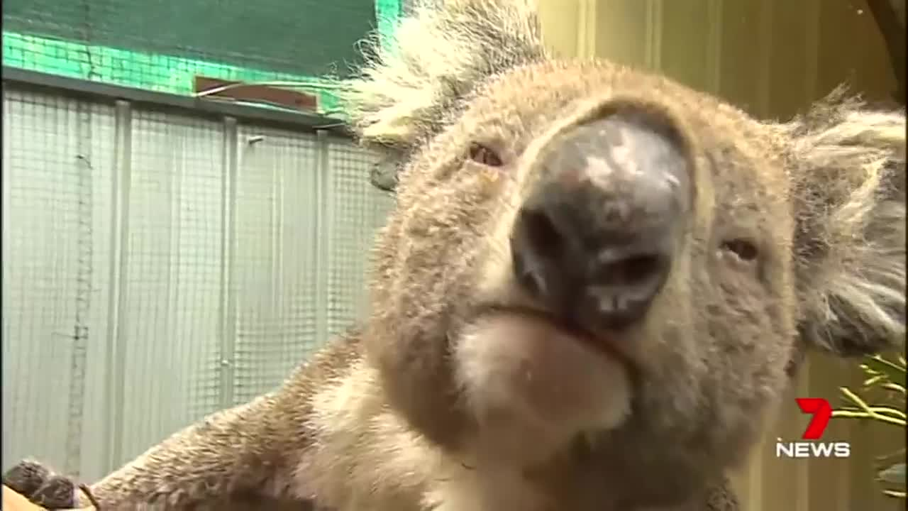 Australia Koalas Under Critical Care Amid Bushfires